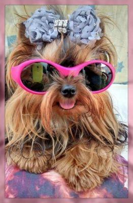 ropa de moda para perros chihuahua