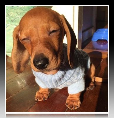 ropa para perros salchichas chile