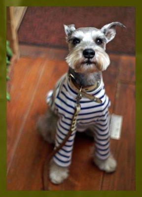ropa para perros schnauzer hembra