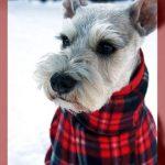 Modelos de ropa para perros schnauzer