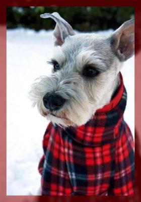 ropa para perros schnauzer mediano
