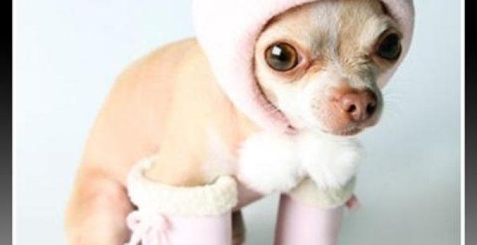 vestimenta para perros chihuahuas