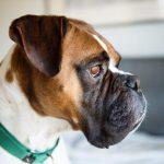 Modelos de ropa para perros boxer