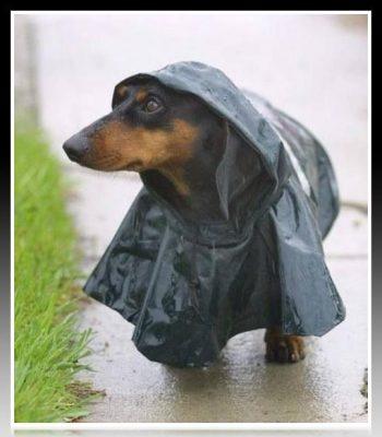 capa para lluvia para perro salchicha