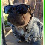 Imágenes de ropa para perros bulldog frances