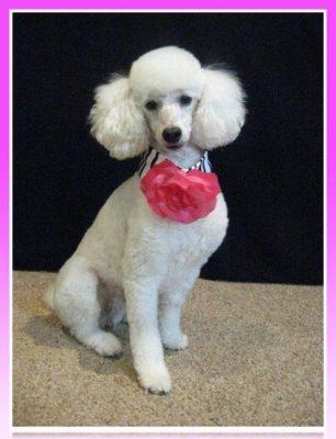 collar de rosa para poodle