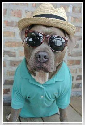 ropa de verano para pitbull