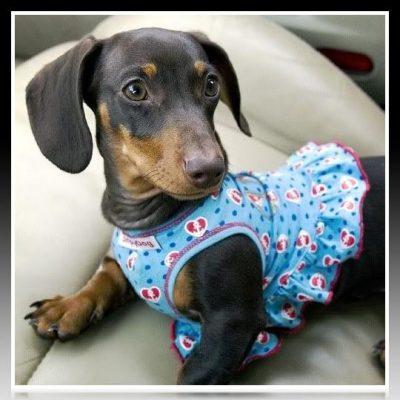 vestido para perro salchicha