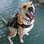 Consideraciones para comprar ropa para perros grandes