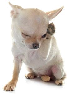 alergia chihuahua