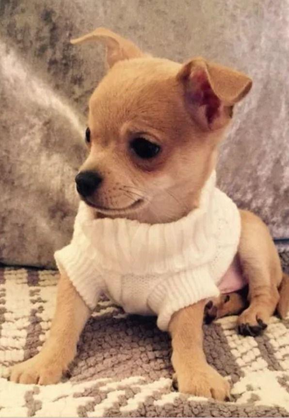 Ropa para Chihuahuas