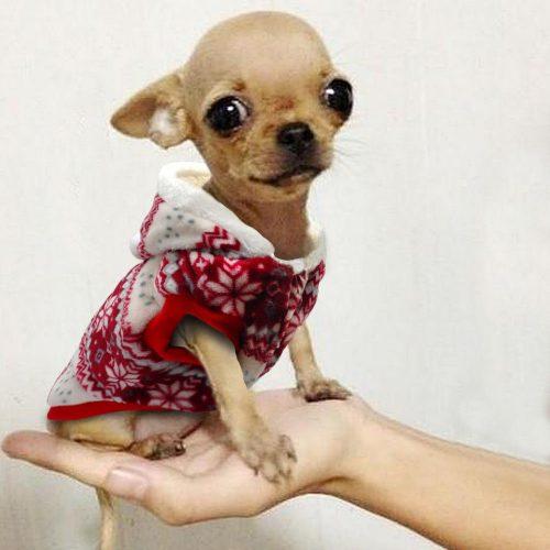 Ropa para Chihuahuas roja