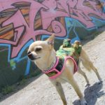 Diseñando Ropa para Chihuahuas