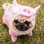 Imágenes de Ropa Para Pug
