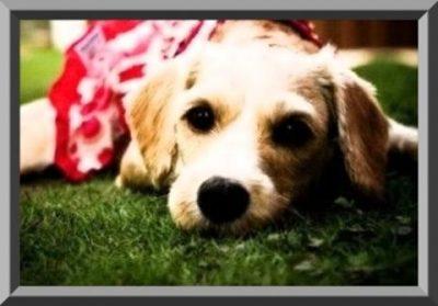 ropa de perros labradores