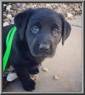 ropa para perros labrador retriever