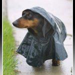 Imagenes de ropa para perros salchichas