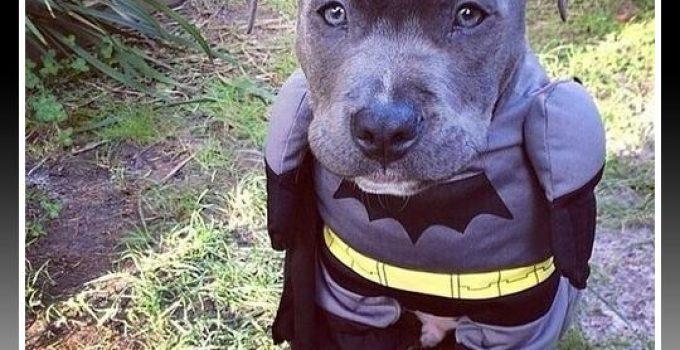 Como Hacer Un Disfraz De Batman Para Perro - Noticias del Perro