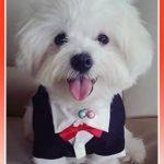 Imagenes de ropa para perros bichon maltes