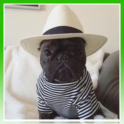 ropa de verano para bulldog frances