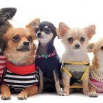Ropa para Chihuahuas lindos
