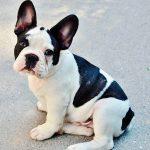 Bulldog francés: Características de la raza y temperamento